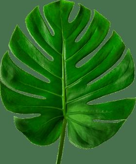 abas-palma-afuoco-verde